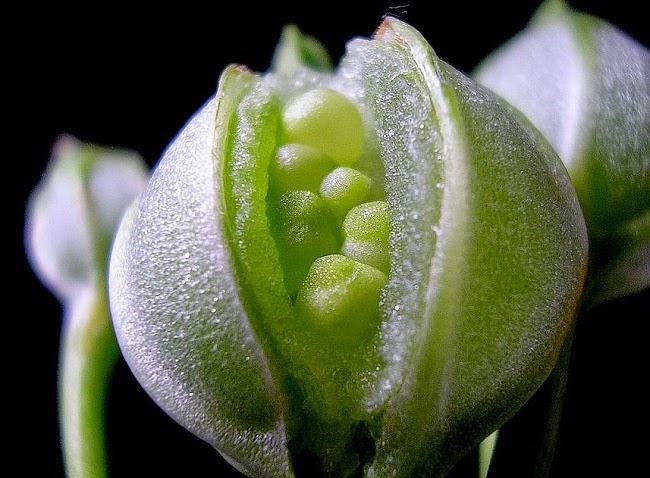 Alstroemeria seed pod