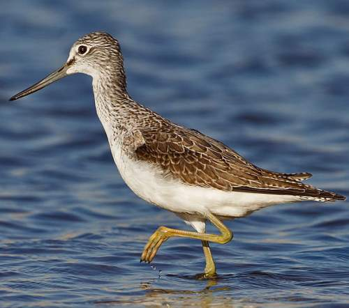 Birds of India - Photo of Common greenshank - Tringa nebularia