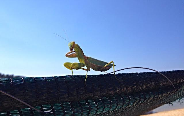 Bidsprinkhaan - Mantis - Mantodea