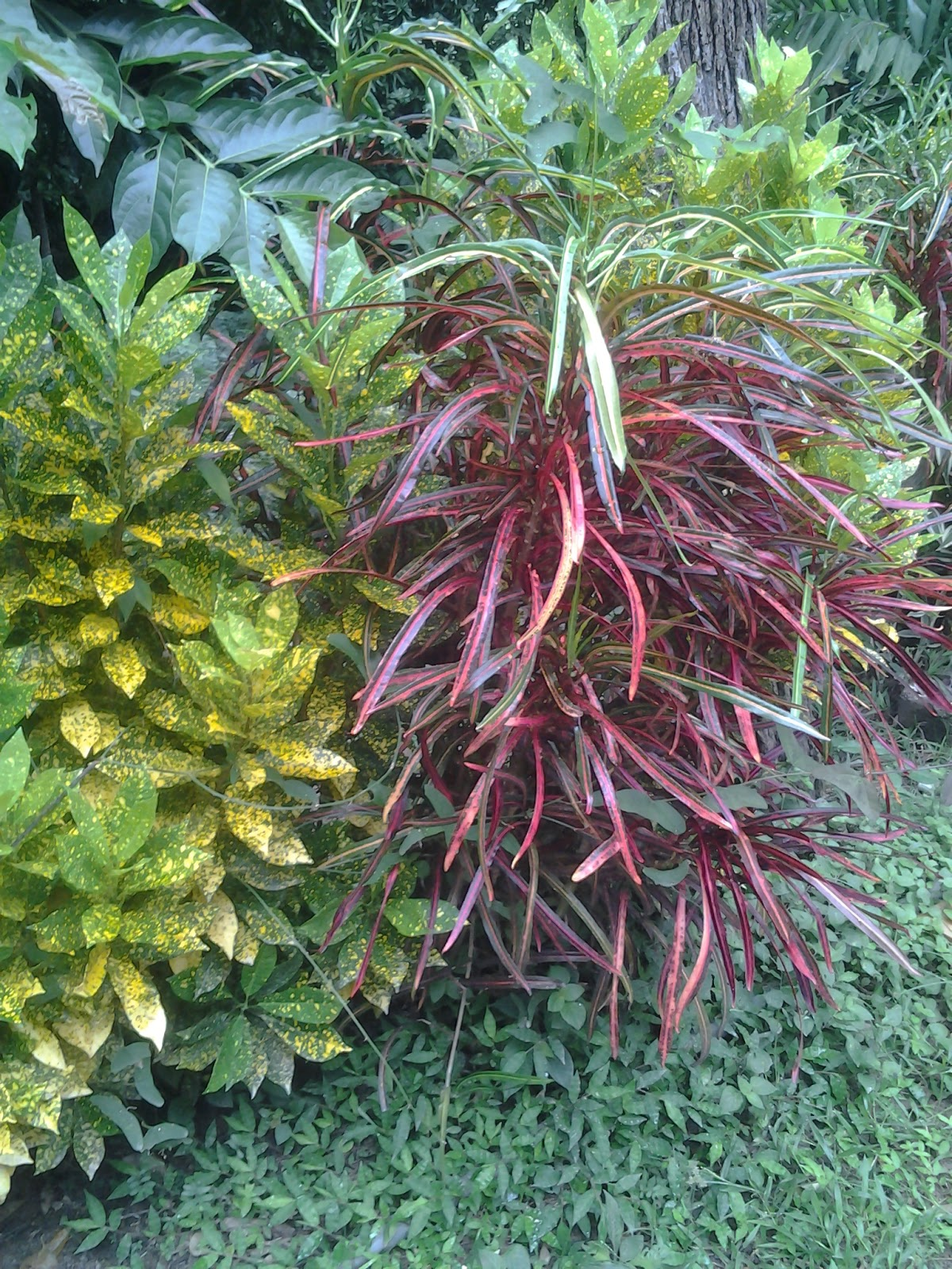 Plantas de panam plantas ornamentales de panam for Como se llaman las plantas ornamentales