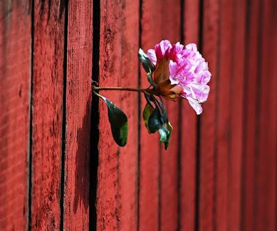 rose-poussant-entre-2-planches-barriere