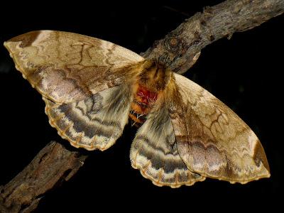 Molippa flavodiosiana female