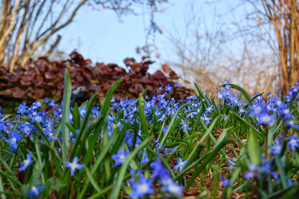 Chionodoxa growing in woodland