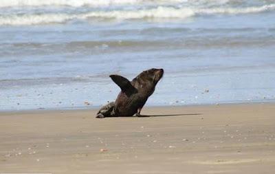 Leão Marinho Passeando Praia do Cassino