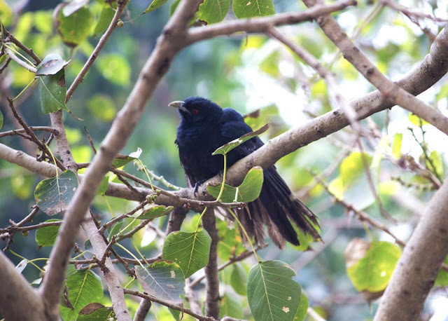 asian koel male, bird, cuckoo, peepal tree, bandra east, mumbai, india,