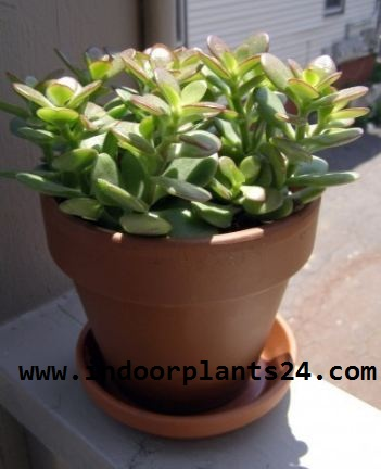 CRASSULA OVATA indoor house plant