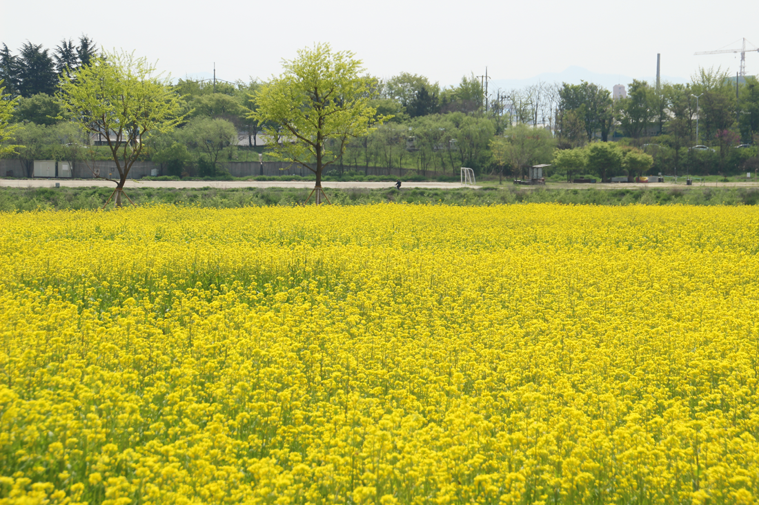 Fun free daegu travel spring scenery of yellow canola flower the small island made of watercourses in daegu gets dyed when seasons change when spring comes the whole island entirely covers up in canola flowers mightylinksfo