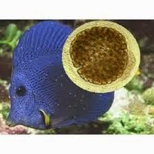 Cara Mengatasi Penyakit Amyloodinium Ocellatum Pada Ikan Alam Ikan