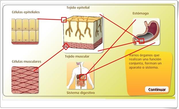 """""""Células, tejidos, órganos y aparatos"""" (Actividad interactiva de Ciencias Naturales de Primaria)"""