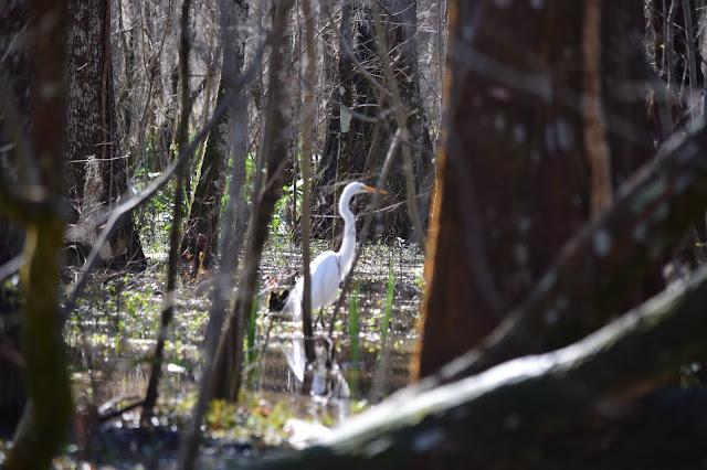 Cajun Encounters, Honey Island Swamp, New Orleans, Louisiana, egret