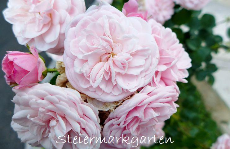 Rosa-Rose-Steiermarkgarten