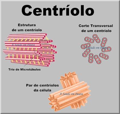 Esquema mostrando a estrutura de um centríolo, com corte transversal e disposição nas células