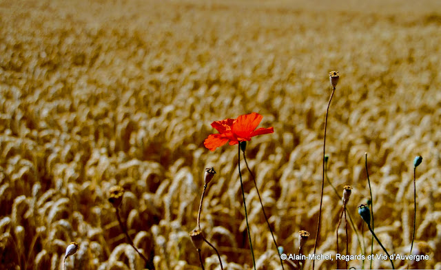 paysage d'été, blé, coquelicot