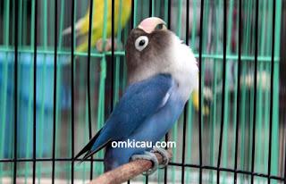 Settingan  Lovebird Dewasa Untuk Lomba - Factor Penting Didalam Bermain Burung Lovebird Lomba Kicau