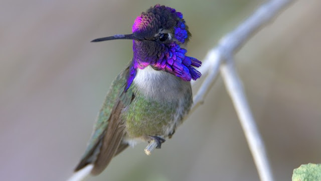 Synchronisation Of Speed, Sound And Iridescent Colour In A Hummingbird Aerial Courtship Dive