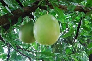 buah%2Bmaja Buah Maja, Alternatif Pembuatan Pupuk Organik