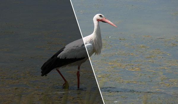 Manfaat dan Khasiat Burung Bangau Serta Habitatnya
