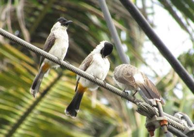 Mengetahui Tempat Sarang Burung Kutilang Di Alam Liar