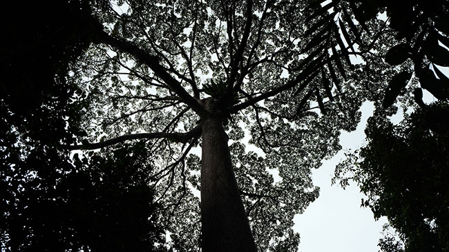 canopy walk hot spring ranau