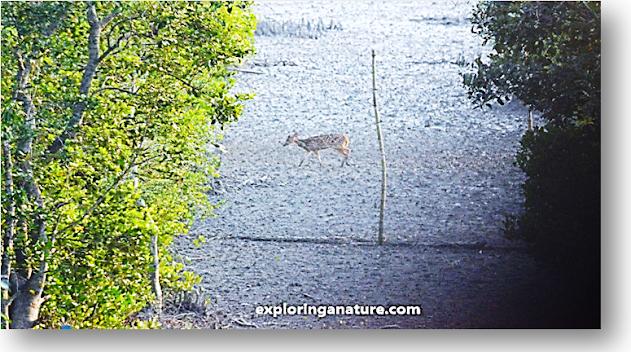 Deer View at Sundarban National Park