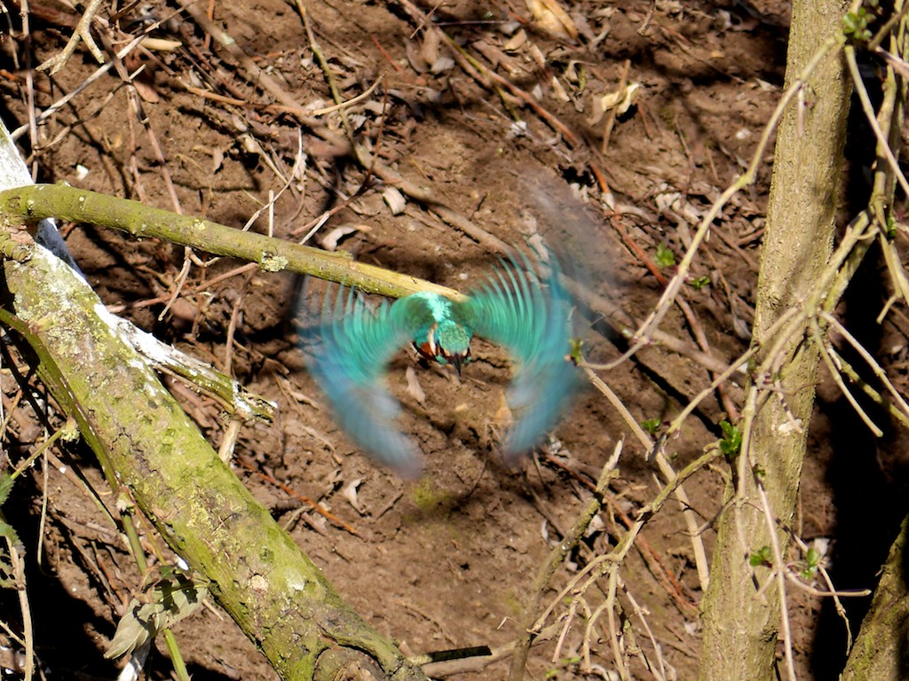 Roy's Nature Logbook: Kingfisher - That Elusive Photograph