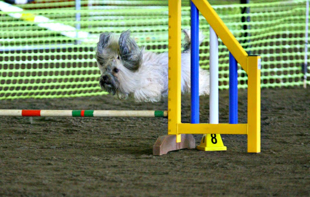 leap day dog jumping agility
