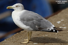 (L. m.¿atlantis?) Yellow-legged gull from sud of Marocco / del sur de Marruecos/Marocco hegoaldekoa