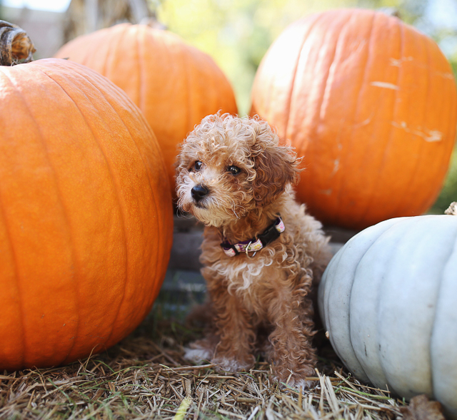 Teacup goldendoodle puppy