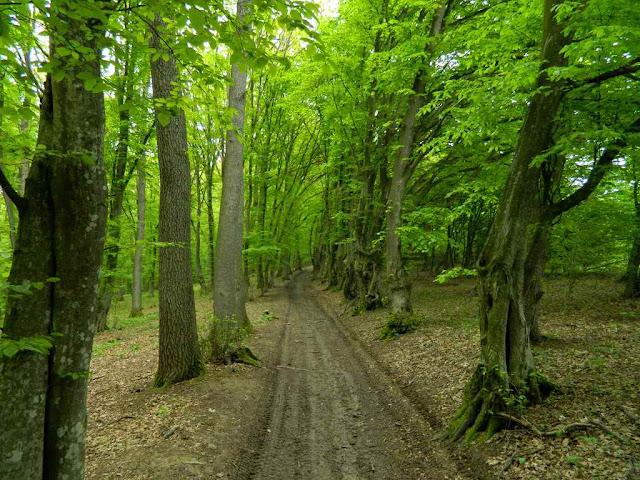 misteriozna-suma-puno-stabala-drveca