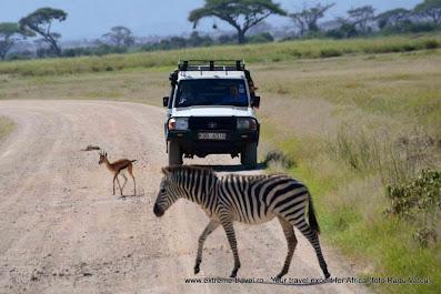 o zebra si o caprioara pe un drum circulat