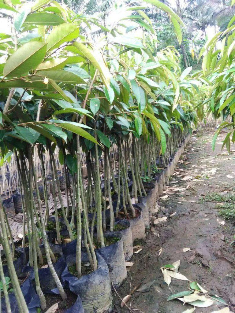 jual bibit durian montongt