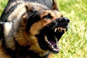 ujadający groźny pies