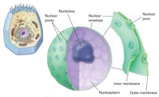 Inti sel, nukleus, nukleolus, pori inti, membran inti sel, nukleoplasma