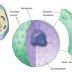 Sel : Prokariotik, Eukariotik, Inti sel dan Retikulum Endoplasma (RE)