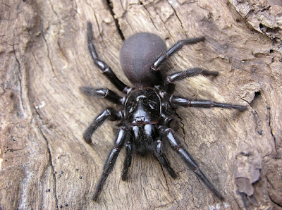 The funnel-web