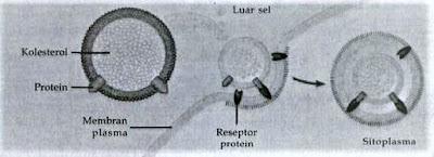 endositosis bantuan reseptor