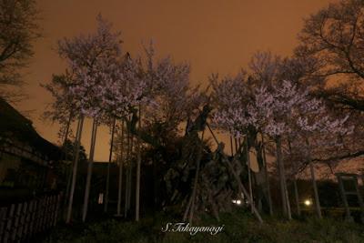 朝方の実相時の山高神代桜