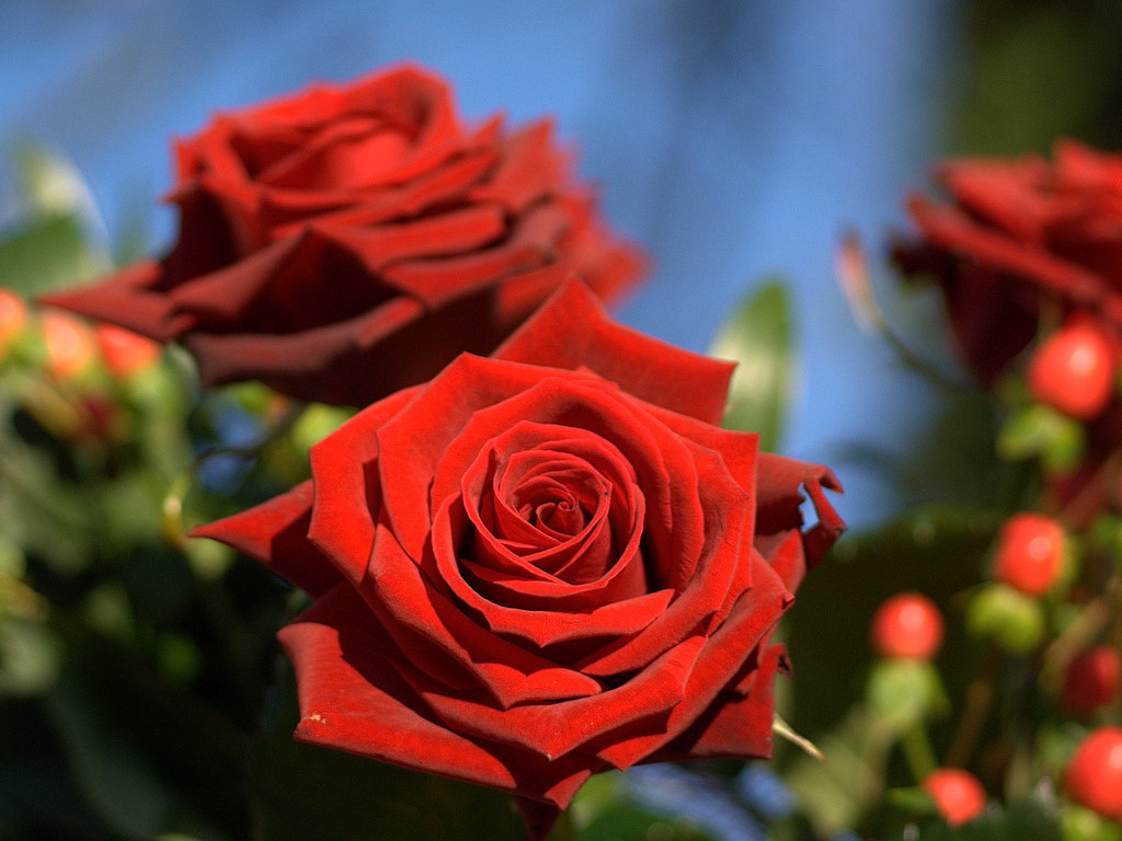 Amazing red roses love wallpapers and backgrounds - Red flower desktop wallpaper ...