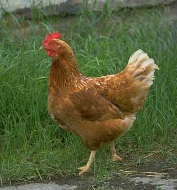 Layer Poultry Farming | Modern Farming Methods