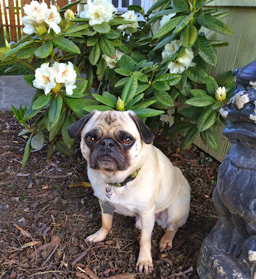 Liam the pug sitting among the flowers