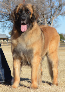 Tipping Point Leonbergers - GCH CH VL Wildering's Midnight Ride Edition TKA - Revere