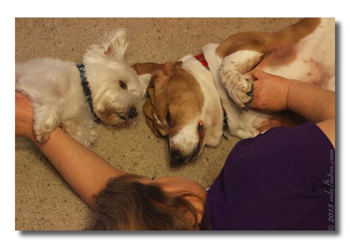 Westie and basset going to sleep with belly rubs