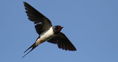 Kenapa Burung Waletnya Banyak Tetapi Sarang Sangat Sedikit ?