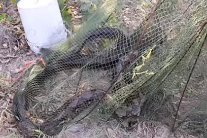 Tarik Jaring, Nelayan Ini Dikagetkan Tertangkapnya Ular Piton Besar