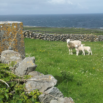 This family of sheep has an enviable daily view of the Atlantic. County Clare, Ireland. Photo by Elena Rosenberg.
