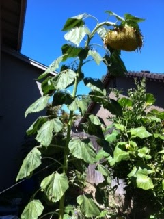 A twelve-foot sunflower grew in our garden.