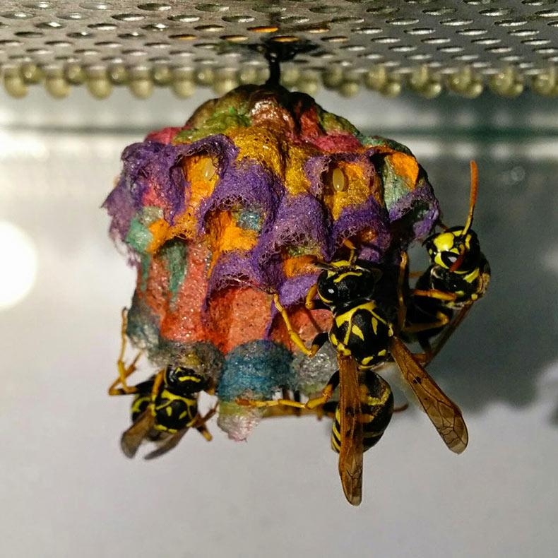 Cuando se les da cartulina de colores, las avispas construyen coloridos nidos