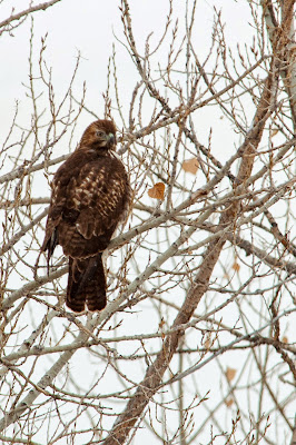 Red-tailed Hawk, Chatfield State Park