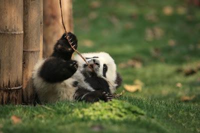 Imagen de osos panda muy tierno