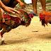Detienen a 200 personas durante pelea de gallos en España